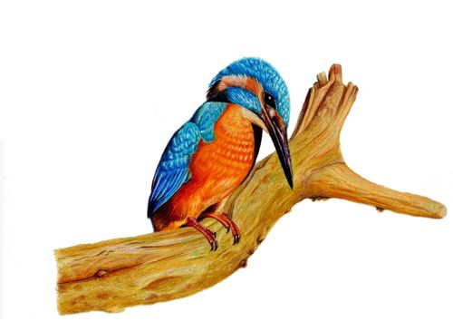 Original Colored Pencil Drawing King Fisher