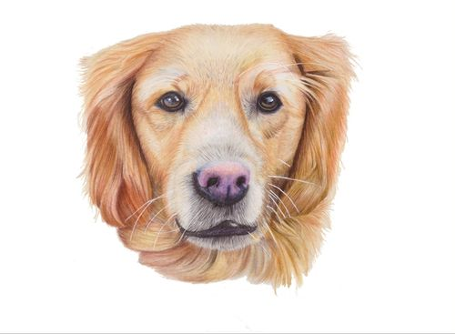 Original Pet Portrait Golden Retriever