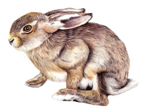 Original Wildlife Wild Rabbit
