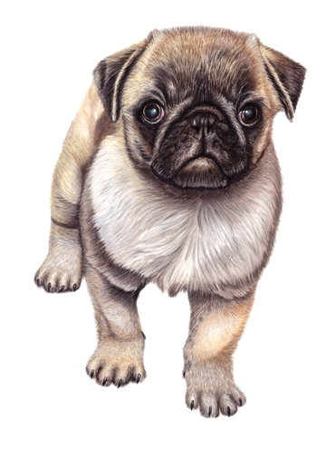 Original Mops Pet Portrait Pug Dog (Colored Pencil drawing)